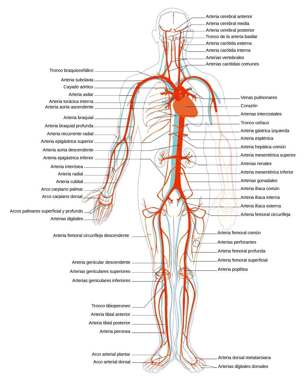 Qué diferencias hay entre arterias y venas? – Curiosoando