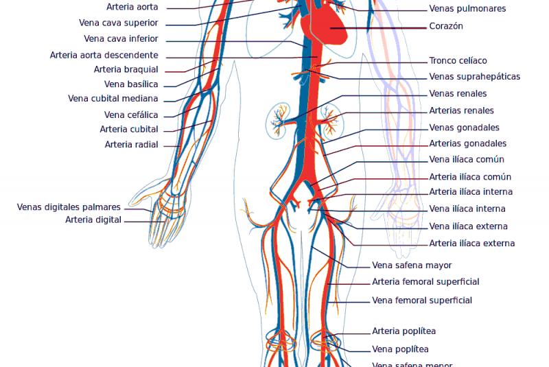 principales venas del cuerpo humano y sus funciones
