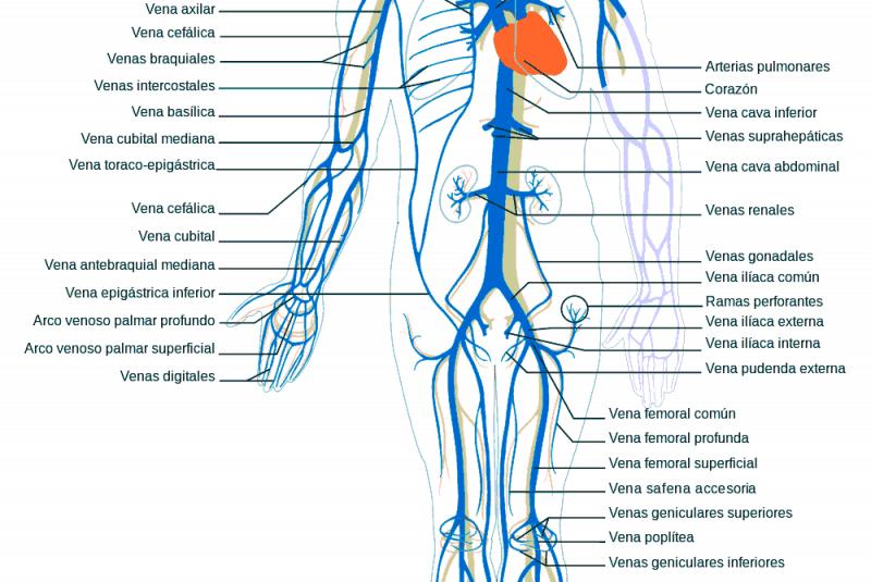 Moderno Anatomía Común Vena Femoral Patrón - Anatomía de Las ...