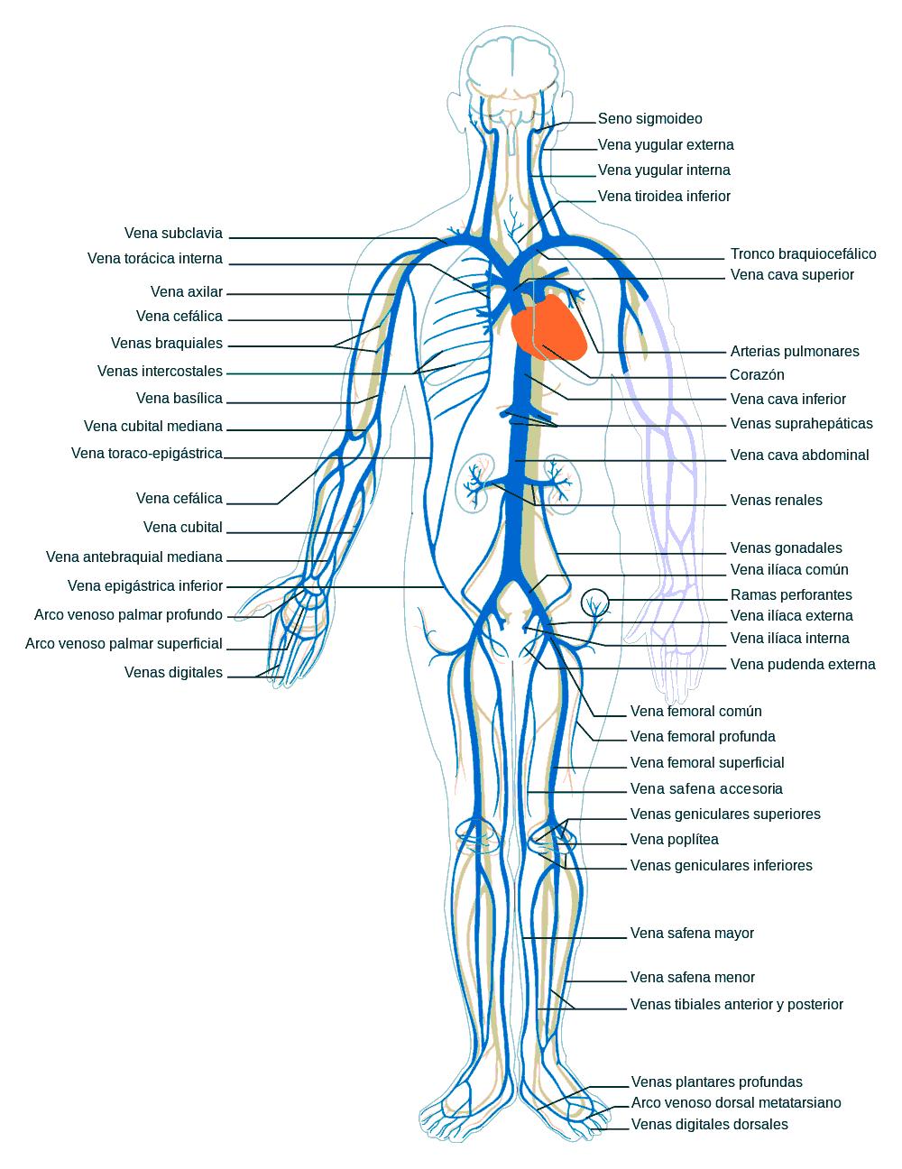 El síntoma varikoza en los pies
