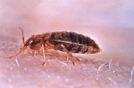 Cimex lectularius (chinche)
