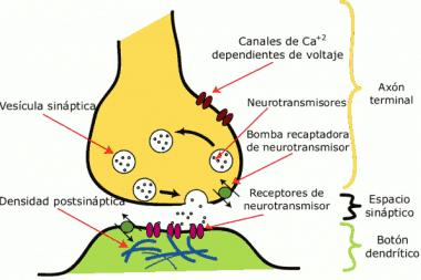 Esquema de la sinapsis