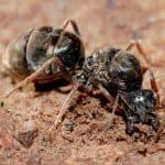 Hormiga reina sin alas