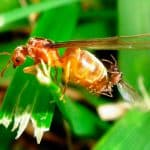 Hormigas voladoras apareándose