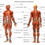 Músculos esqueléticos superficiales humanos