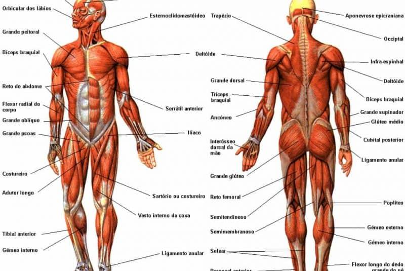 Ilustración de los músculos esqueléticos superficiales del cuerpo ...