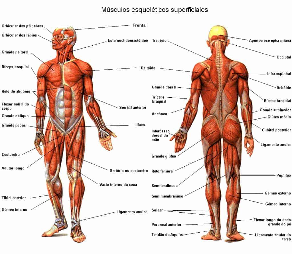 Qué tipos de músculos hay en el sistema muscular humano? – Curiosoando