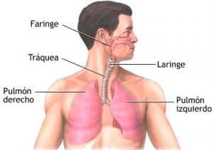 La tráquea en el aparato respiratorio