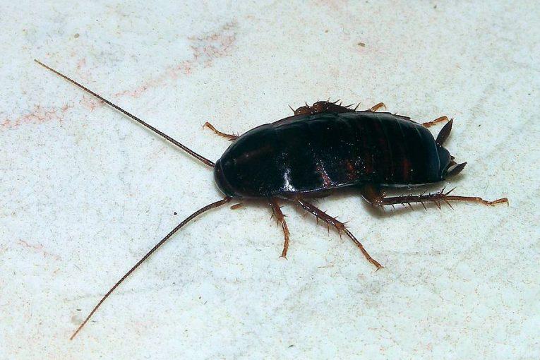 Blatta orientalis (cucaracha común)