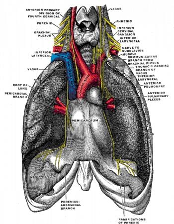nervios frénicos