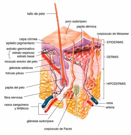 Anatomía de la piel