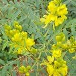 Senna alexandrina / Cassia angustifolia