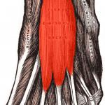 Músculo flexor corto de los dedos del pie