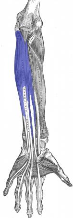 Músculo flexor profundo de los dedos de la mano
