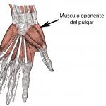 Músculos de la palma de la mano