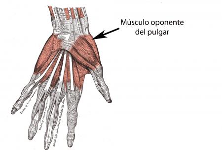 Músculo oponente del pulgar