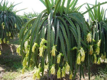 Hylocereus undatus (planta de fruta del dragón)