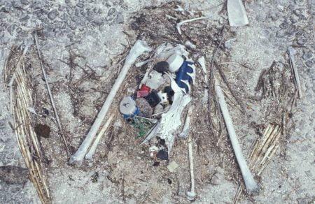 Albatros muerto por ingerir plástico