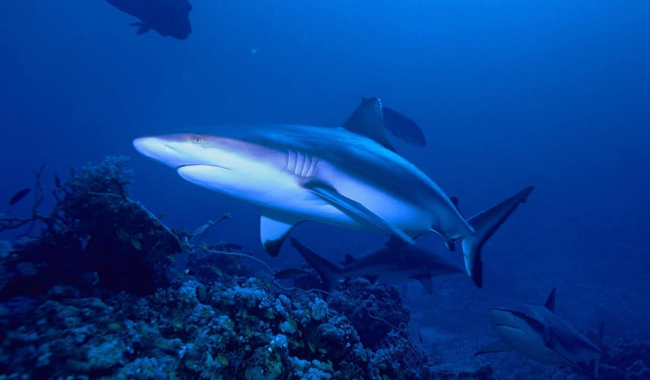 Tienen huesos los tiburones? – Curiosoando