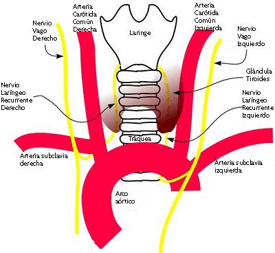Nervios laríngeos recurrentes