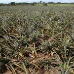 Plantación de Ananas comosus