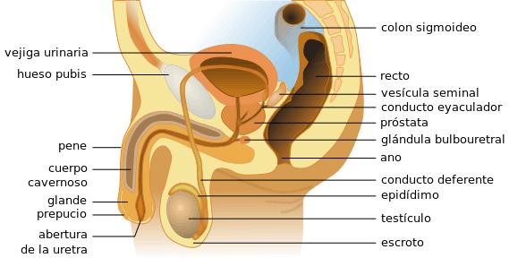 glándula prostática y textura