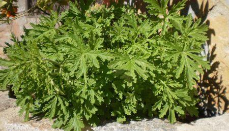 Lemongrass de donde se obtiene aceite esencial de citronella