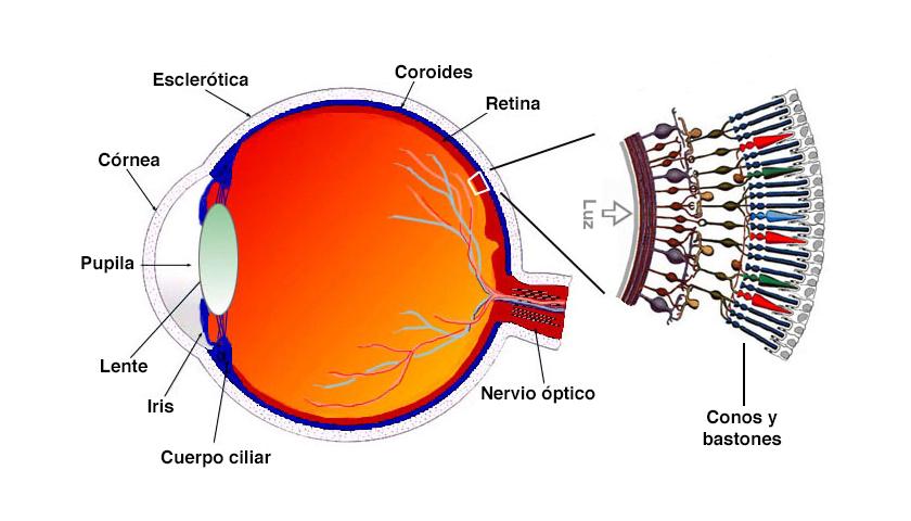 Conos y bastones en la retina