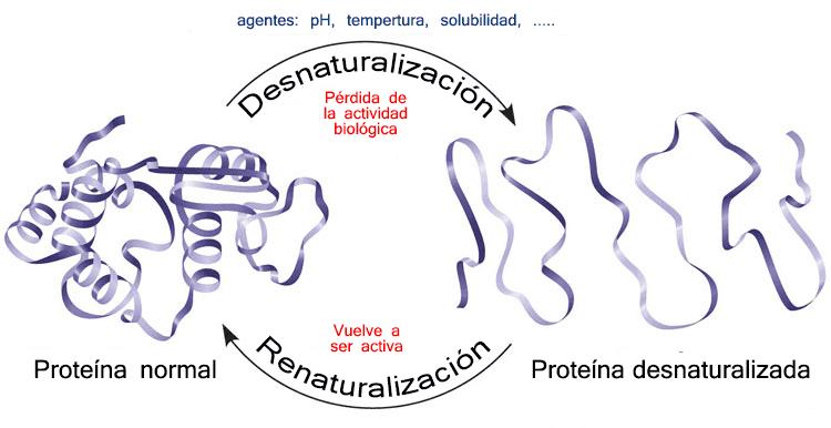 Desnaturalización de proteínas
