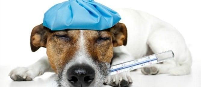 Perro con fiebre