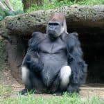 Gorila occidental de las tierras bajas (Gorilla gorilla)