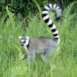 Lemur de cola anillada (Lemur catta)