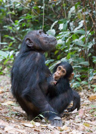 Pan troglodytes (chimpancé común)