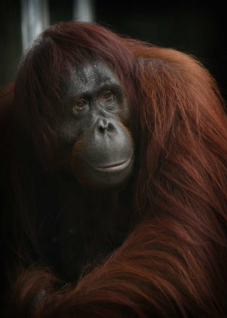 Pongo abelii (Orangután de Sumatra)