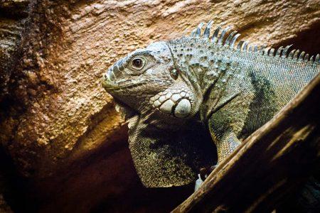 Iguana - Dublin zoo