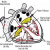 Sistema de conducción del corazón (esquema)