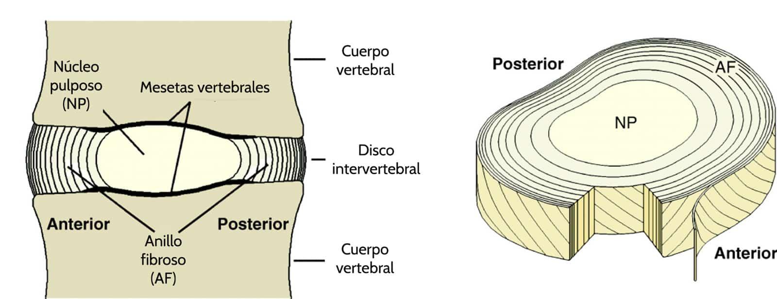 Qué es un disco intervertebral? – Curiosoando
