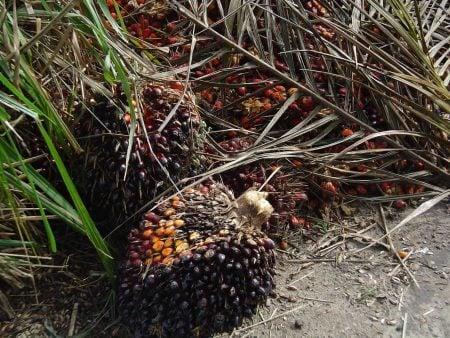 Fruto de palma (Elaeis guineensis)