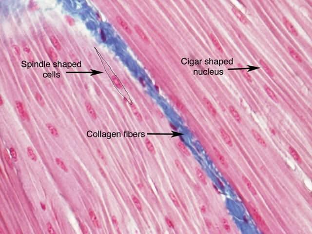tipos de colágeno en la piel