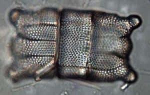 Biddulphia pulchella