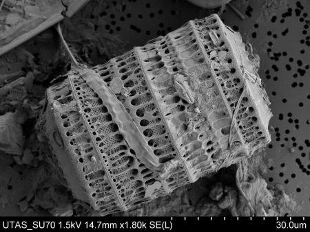 Diatomea Paralia sulcata al microscopio de barrido