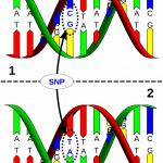 Marcador molecular SNP