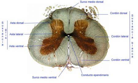 Corte médula espinal