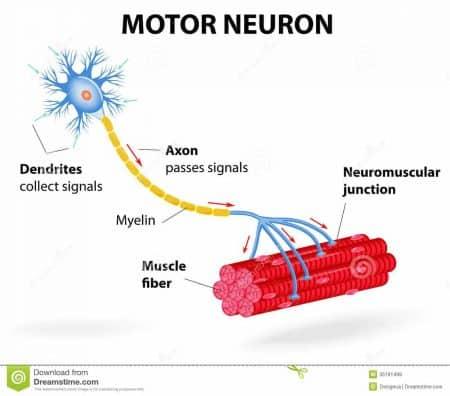 Esquema de una neurona motora