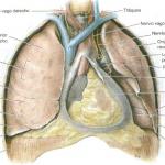 Esquema de las partes del pulmón