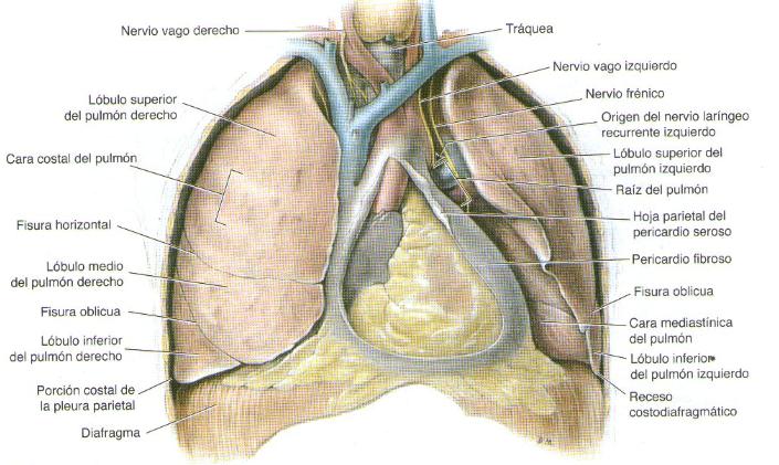 Qué es el hilio pulmonar? – Curiosoando