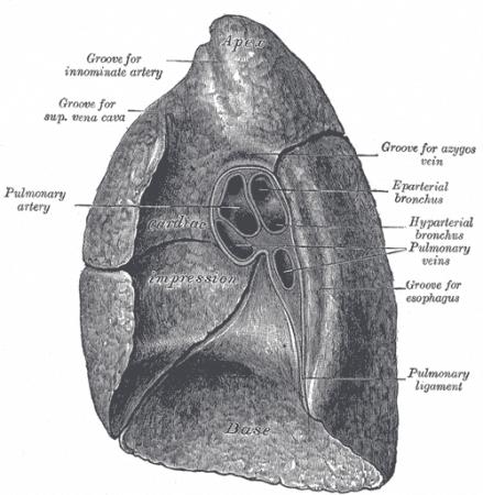 Superficie mediastínica del pulmón derecho