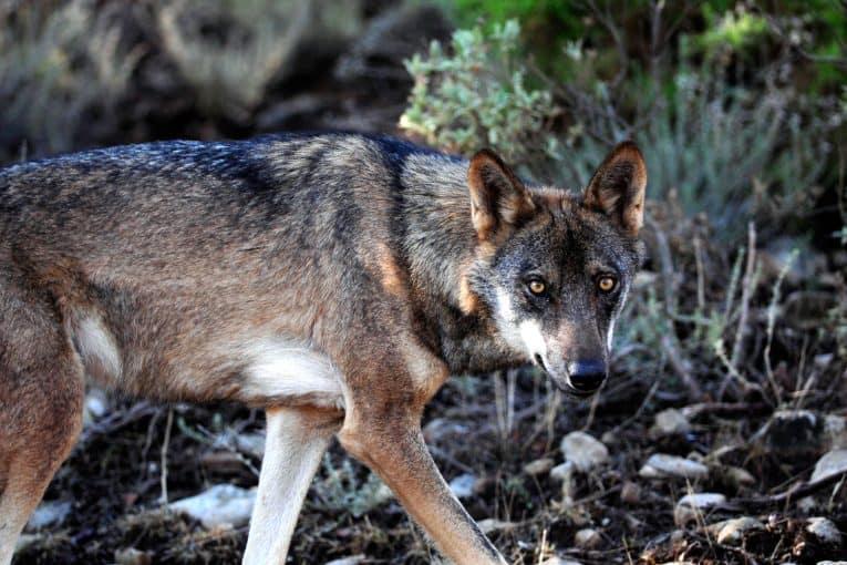 Canis lupus signatus (lobo ibérico)