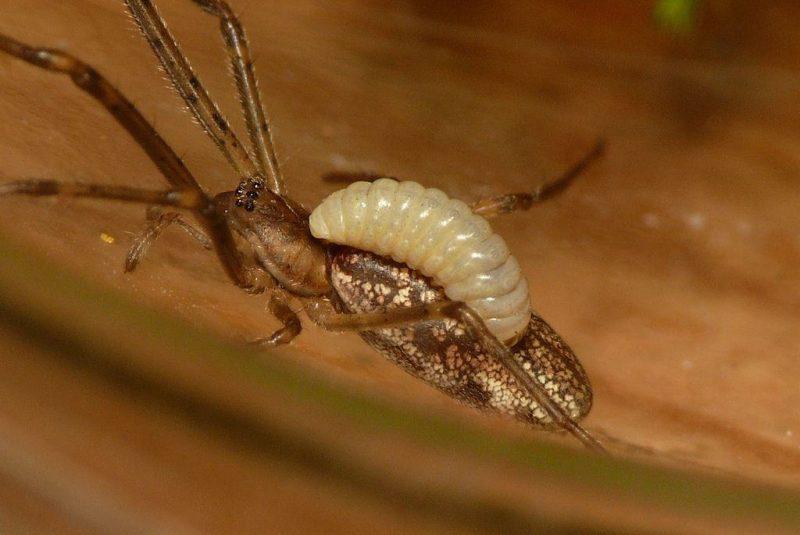 Araña parasitada por una larva