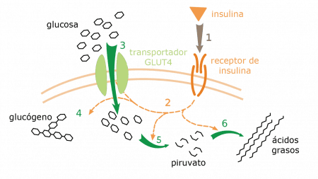 Efecto de la insulina en el metabolismo de la glucosa